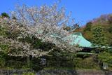 鎌倉龍宝寺の大島桜と本堂