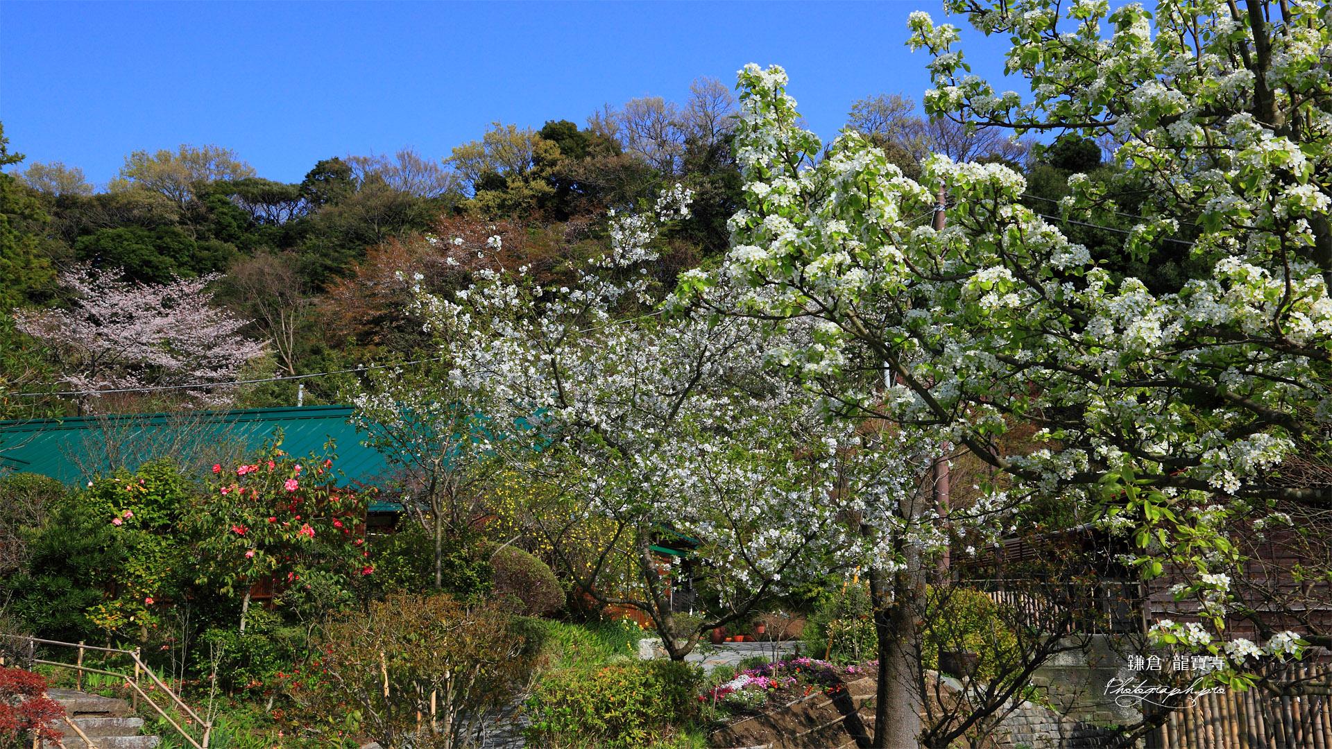 鎌倉龍宝寺の梨と桜