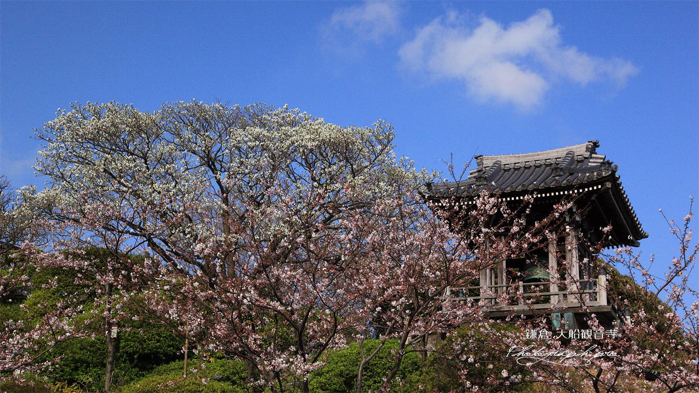 大船観音寺 桜と鐘楼 壁紙