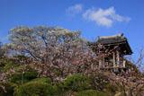 大船観音寺 桜と鐘楼