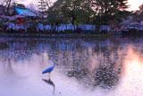 鶴岡八幡宮の桜と鷺