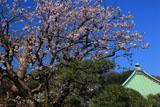 鎌倉収玄寺 桜