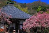 光則寺の海棠咲く本堂