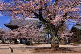 光明寺の山門と桜