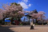 光明寺の鐘楼堂と桜