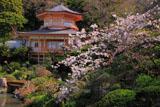 光明寺の桜と大聖閣