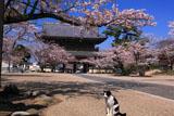光明寺のモモとサクラ