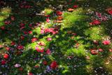 安国論寺 散椿と妙法桜花