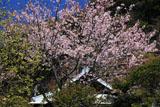 鎌倉別願寺 桜と本堂