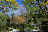 浄智寺の桜と新緑
