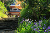ハナダイコンと浄智寺鐘楼門