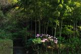 鎌倉山ノ内 竹林とシャクナゲ
