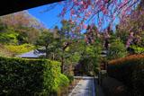 明月院山門越しの枝垂桜