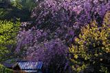 明月院 萌木と枝垂桜