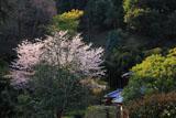 鎌倉長寿寺 桜と庫裡