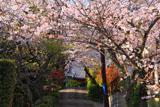 薬王寺 参道の桜