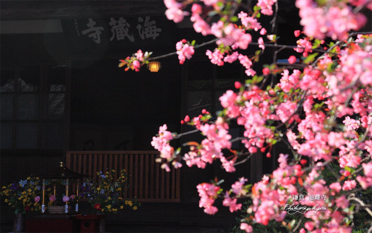 海蔵寺 ハナカイドウ越しの花御堂 壁紙