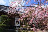 鎌倉大慶寺 紅枝垂れ桜と本堂