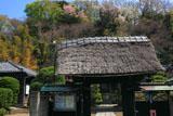 鎌倉等覚寺山門と裏山の桜