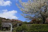 鎌倉圓久寺の桜