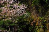 銭洗弁天の桜