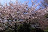 鎌倉葛原岡神社 サクラと社務所