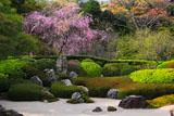 明月院枯山水庭園と枝垂桜
