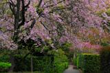 明月院の枝垂桜と山門