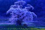 暁の小沢の桜