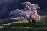 田村市の桜