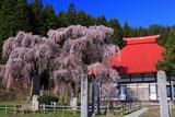 永泉寺の桜と本堂