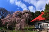 サイドからの永泉寺のサクラ