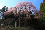 杉木立に囲まれた弁天桜