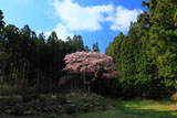 遠目から眺めた弁天桜