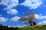 小沢の桜を下から見上げて