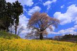 曲山の愛姫桜と羊雲