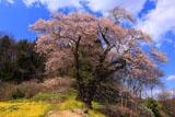 土手からの曲山の愛姫桜