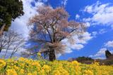曲山の愛姫桜