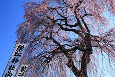 繪松神社の桜