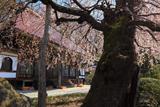 大乗寺の桜