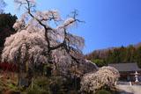 剛叟寺の枝垂桜