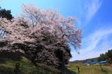 筋雲と馬酔木沢の桜
