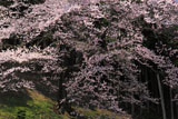 馬酔木沢の桜