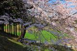 斜面に立つ馬酔木沢の桜