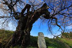 三和の観音桜
