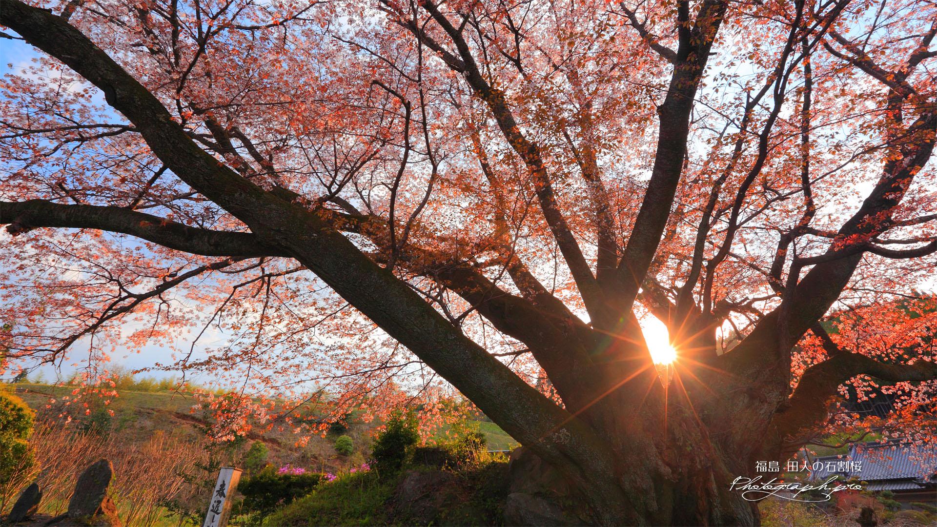 夕陽の田人の石割桜