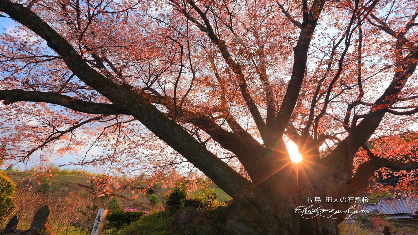 夕陽の田人の石割桜 壁紙