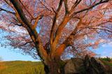 石を割る田人の石割桜