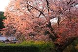 山桜と民家