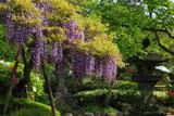 鎌倉長谷寺のフジ